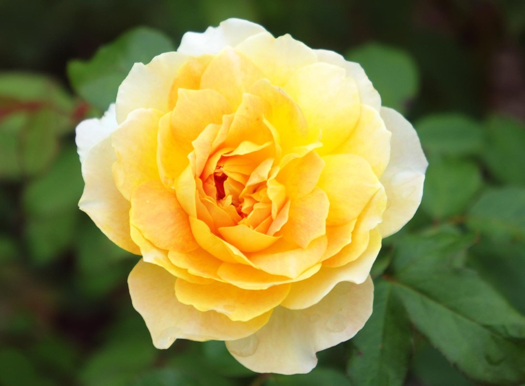 Yellow Rose for Melbourne Cup