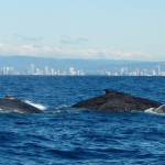 Whale Watching in Queensland Australia